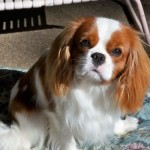 WynDancer Cavalier King Charles Spaniels - A Passion for Health, Structure, & Temperament